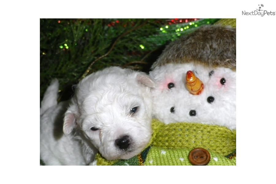 Meet Lillie A Cute Bichon Frise Puppy For Sale For 800 Akc