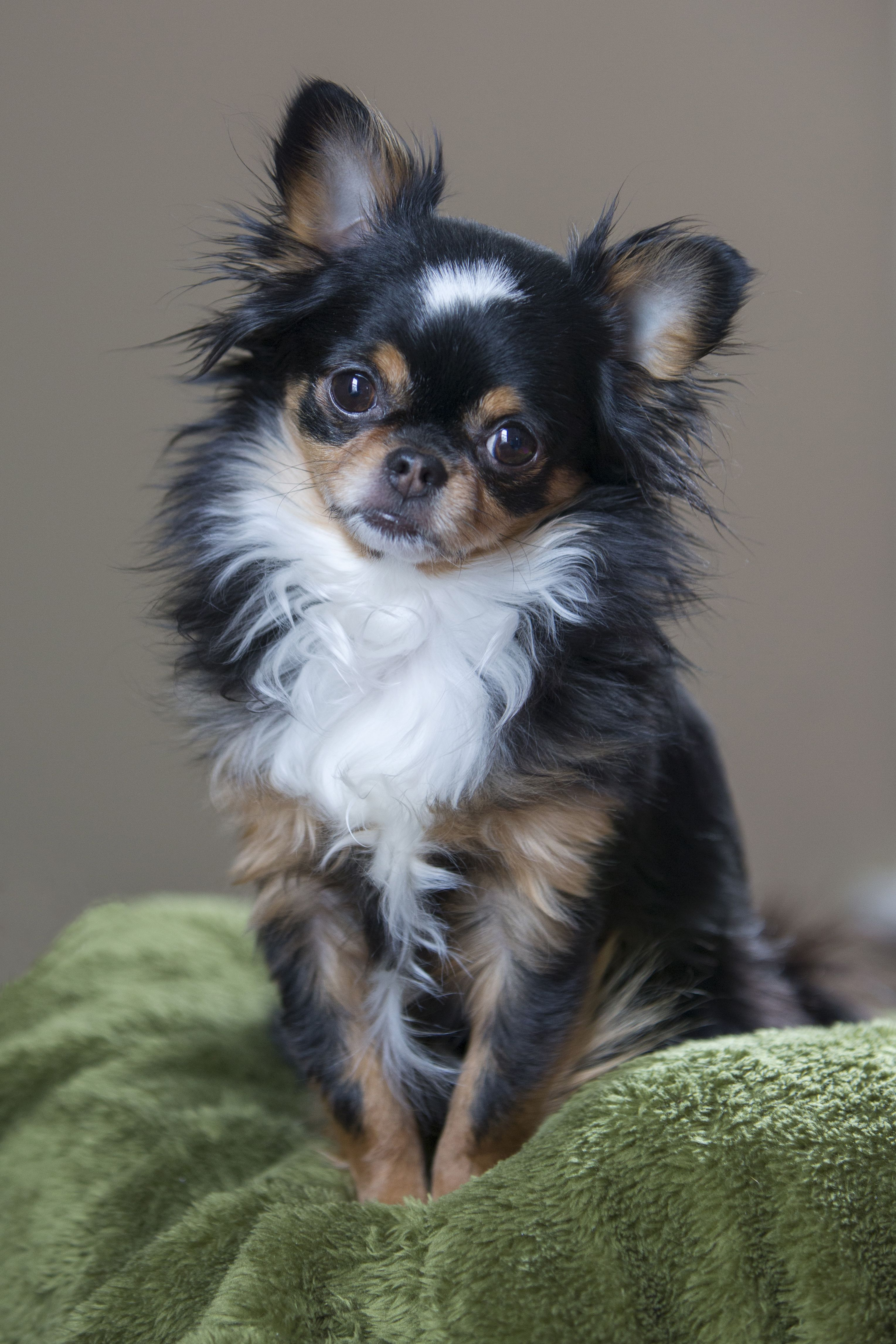 Long Haired Chihuahua … Chihuahua Chihuahua dogs