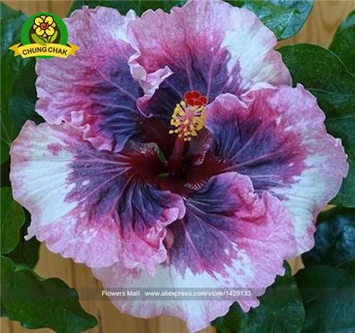 Flower Seed Hibiscus Seeds 200pcs Hibiscus Tree Seeds Potted Plants