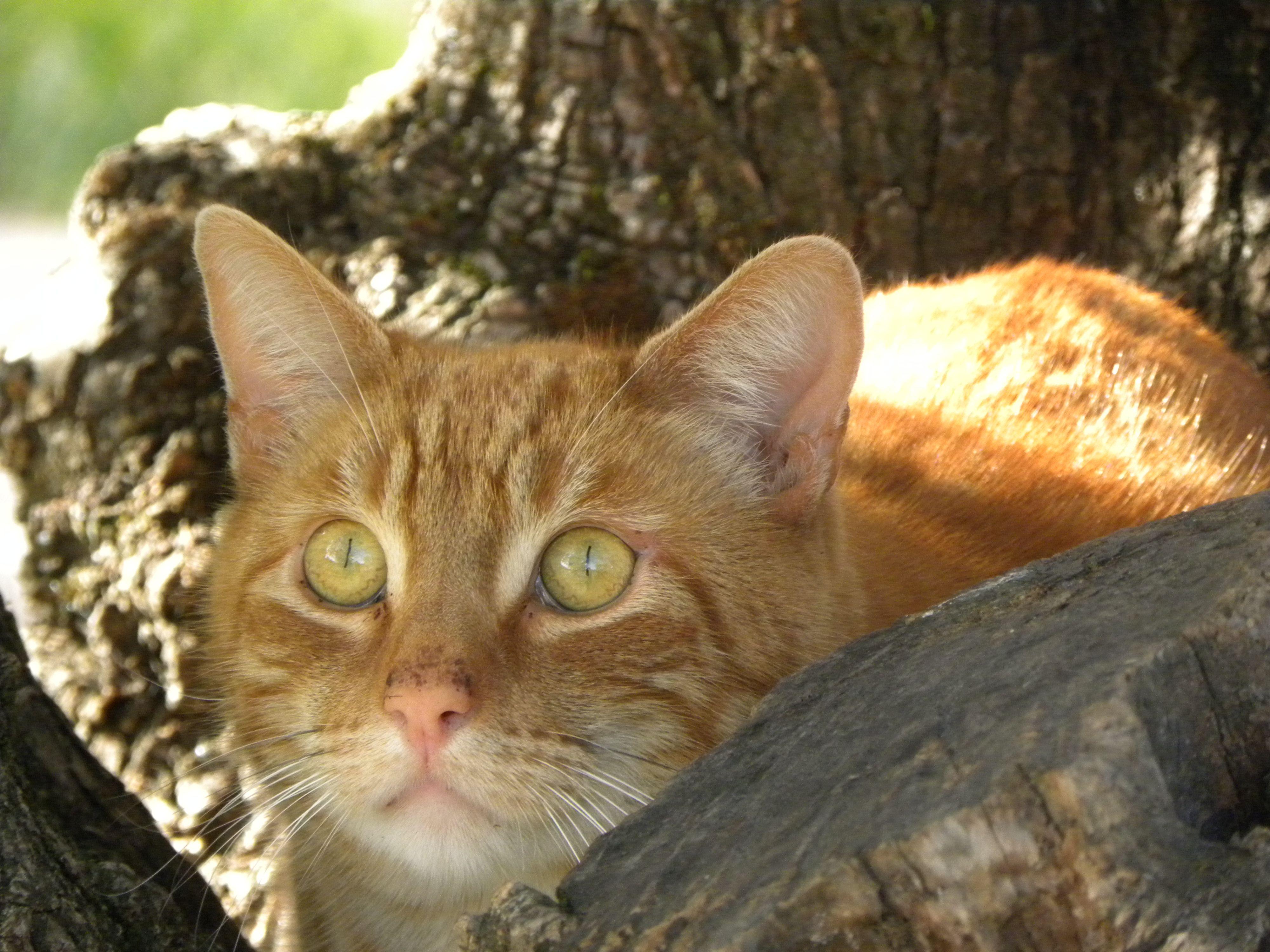 Lancelot - the winery cat from Castello di Amorosa in Napa ...