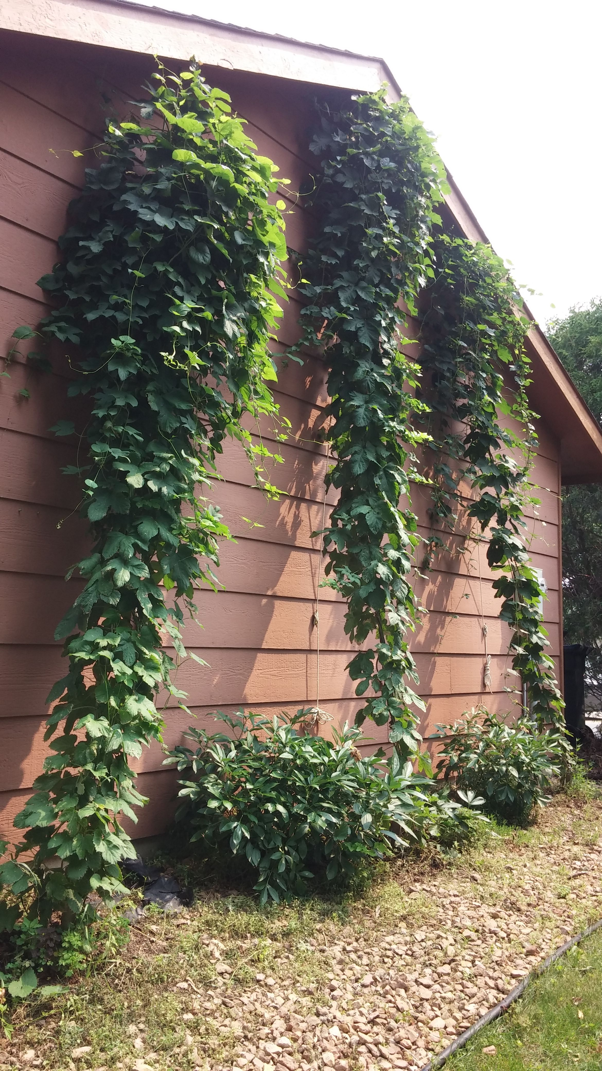 Hops For Decoration July 4th Hop Bines With Hop Burrs Growing Hops Pinterest