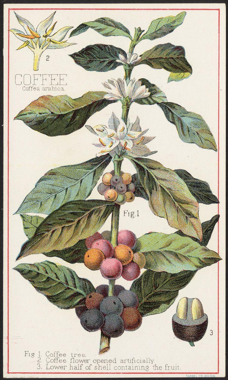les 25 meilleures id es de la cat gorie coffea arabica sur pinterest caf ier fleurs uniques. Black Bedroom Furniture Sets. Home Design Ideas