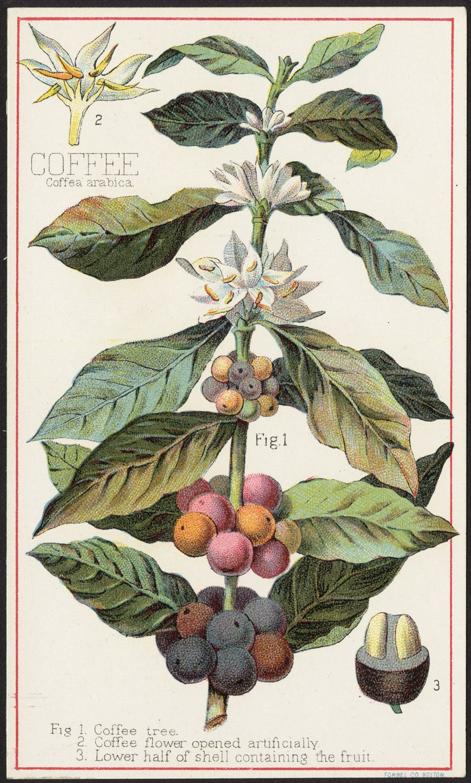 Coffee, Coffea Arabica [front] Botanical illustration