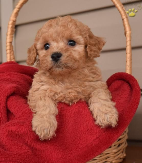 Rhonda Cocker Spaniel Mix Puppy for Sale in Stanley, NY