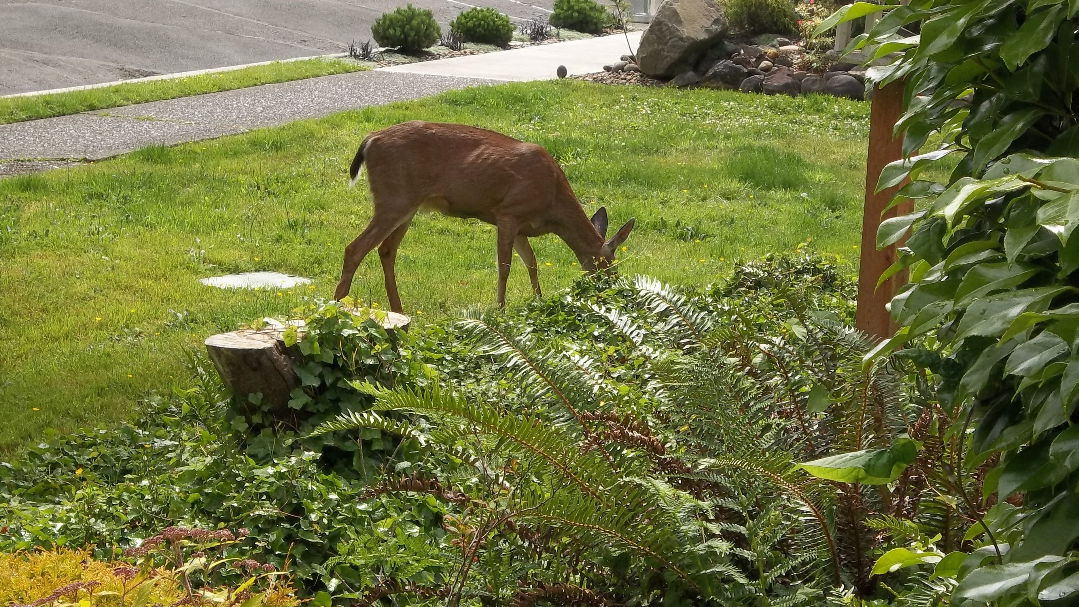 Front lawn of a bed and breakfast in Astoria, OR  doe had 2 fawns in the back yard a few weeks ago
