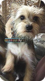 Jupiter, FL - Standard Schnauzer/Terrier (Unknown Type, Medium) Mix. Meet Caroline, a dog for adoption. http://www.adoptapet.com/pet/16973130-jupiter-florida-standard-schnauzer-mix