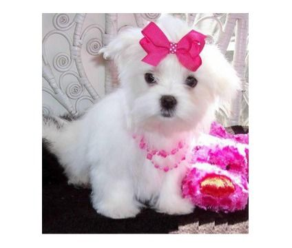 Maltese Puppies For Sale Is A Maltese Puppy For Sale In Nashville