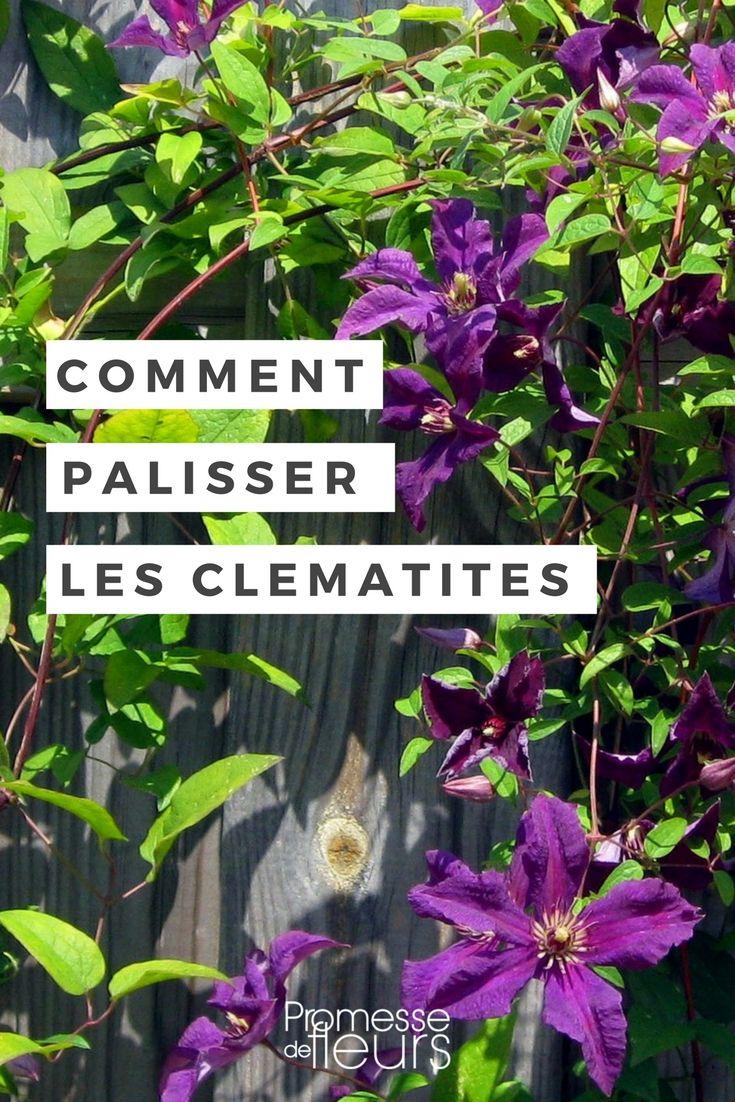 Quel Support Pour Une Glycine comment palisser et tuteurer les clématites ? | clematite