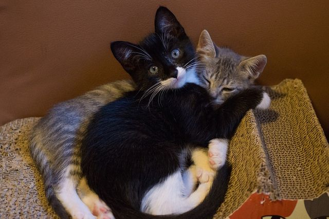 Tabby Girl And Tuxedo Hug By Lovinkat On Flickr Cats Cute Animals Cats And Kittens