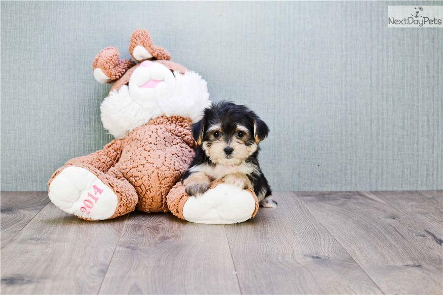 Morkie X2f Yorktese Puppy For Sale Near Columbus Ohio