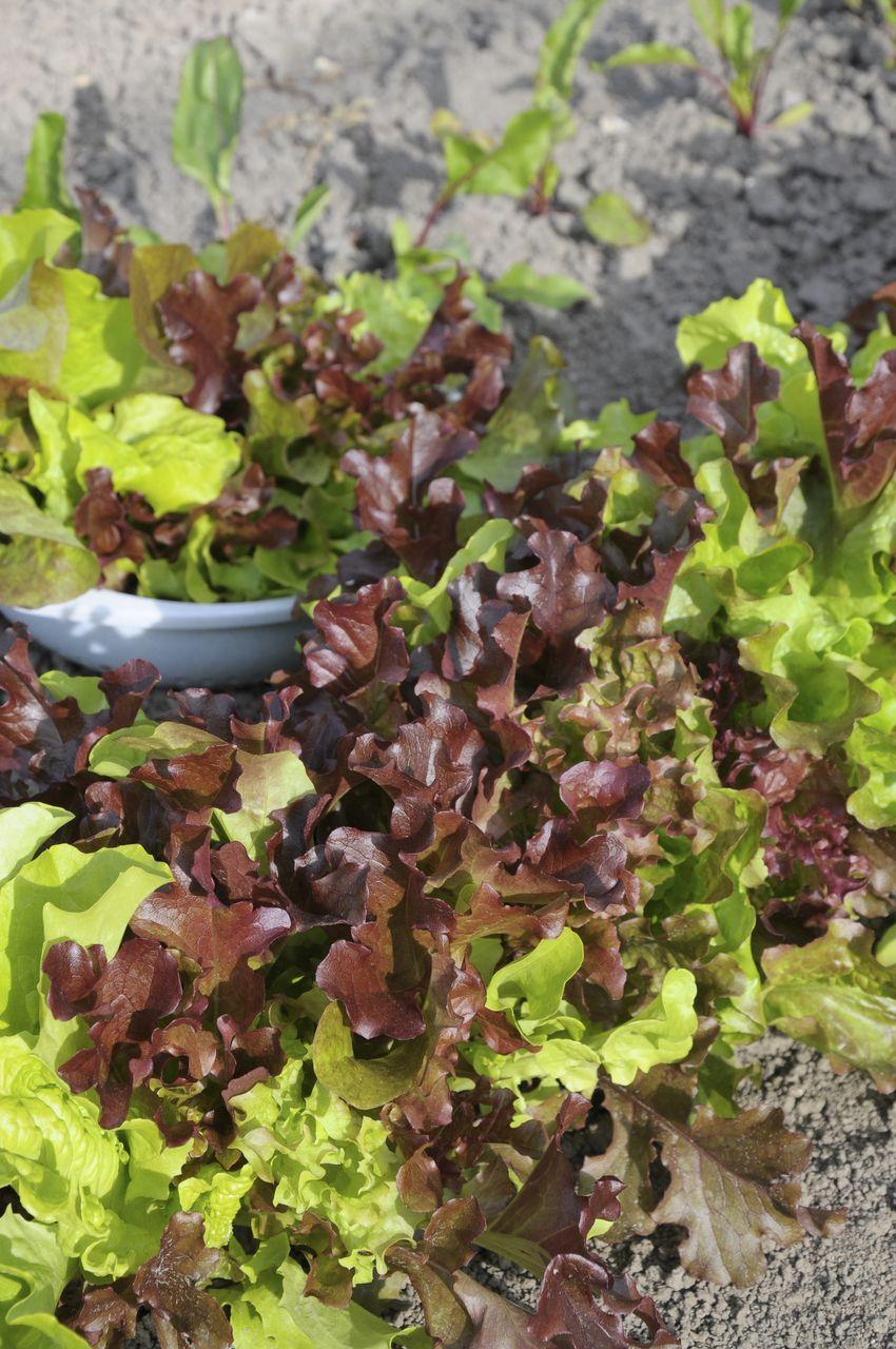 Salat Selbst Anbauen ? Pflanzen Tipps & Tricks ? 99roots.com ... Frische Salate Eigenen Garten Ernten