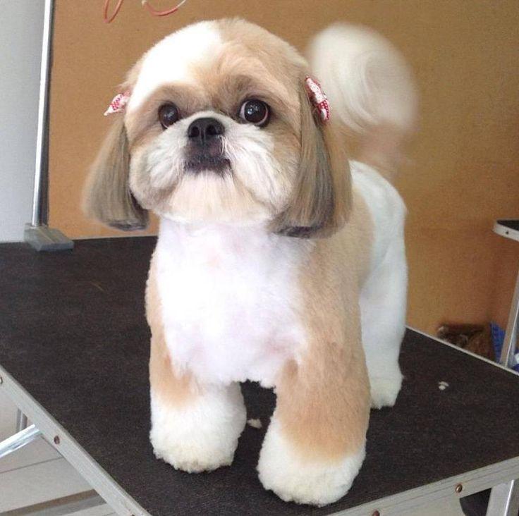 Repinned Shih Tzu Dog Grooming Styles Shih Tzu Grooming Shih Tzu Haircuts