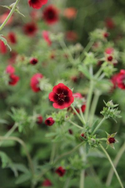 Potentilla thurberi 'Monarch's Velvet' cinquefoil.  Flowers June to August.  Garden care: Lift and divide large clumps in autumn or spring. Apply a generous 5-7cm (2-3in) mulch of well-rotted compost or manure around the base of the plant in spring