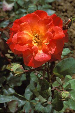 Floribunda Rosa 'Bonfire Night'