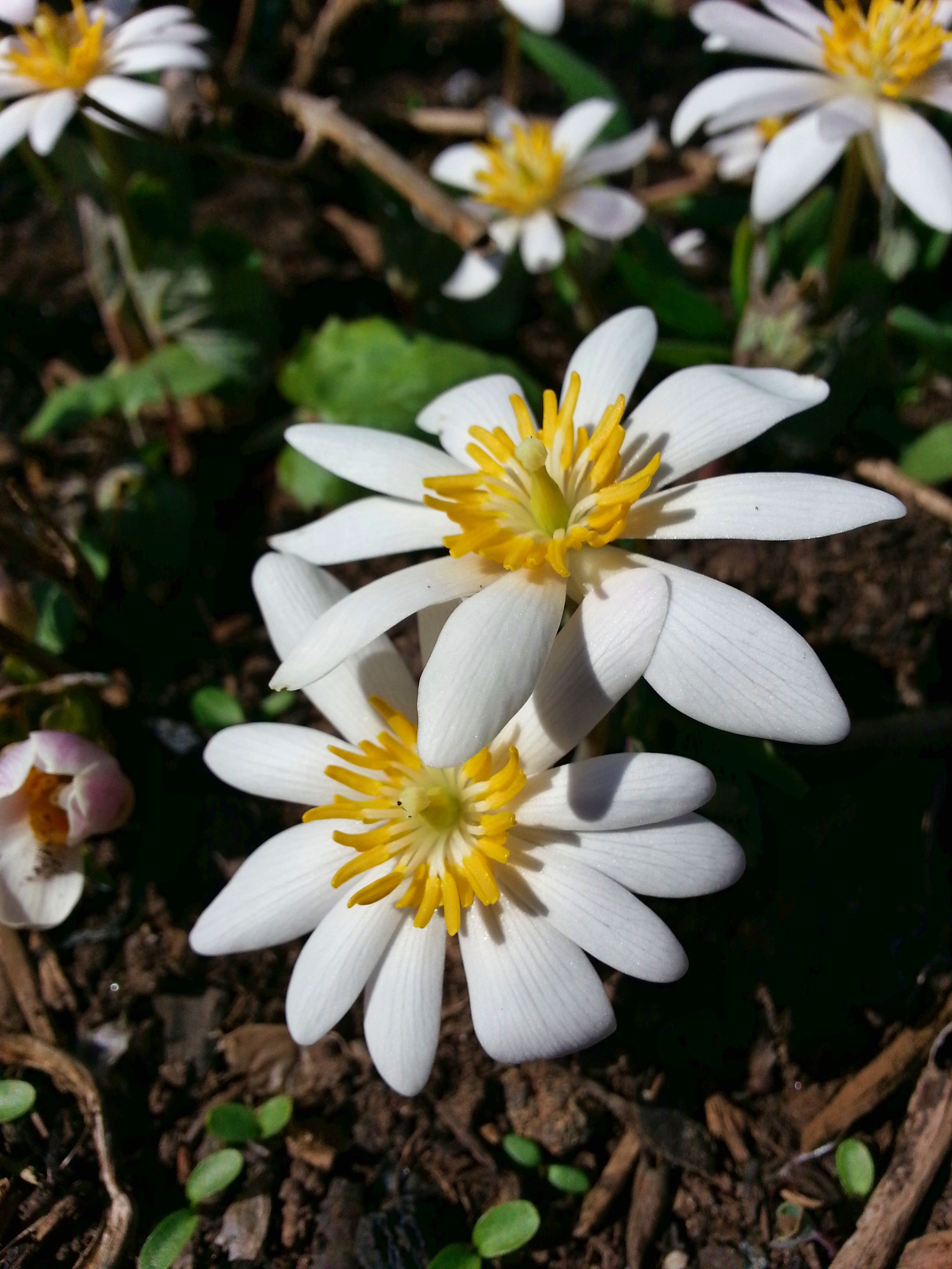 Sanguinaria Canadensis Bloodroot Blooms March May Garden Plants Bloom Plants