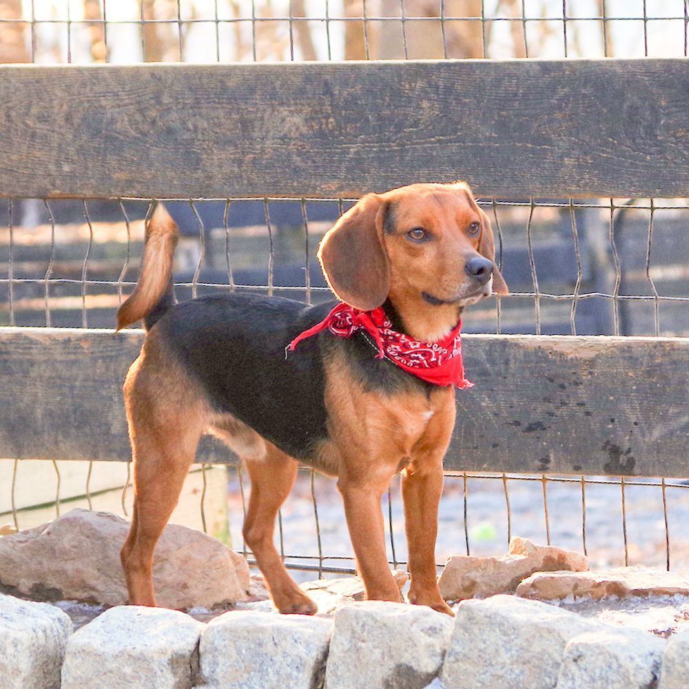 Leon Is An Adoptable Beagle Searching For A Forever Family Near