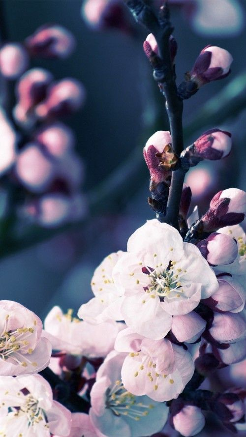 Iphone X Wallpaper Black Floral Apple Iphone 6s Wallpaper With Cherry Blossom Flower