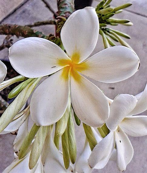 Google Plumeria Flowers Plumeria Planting Flowers