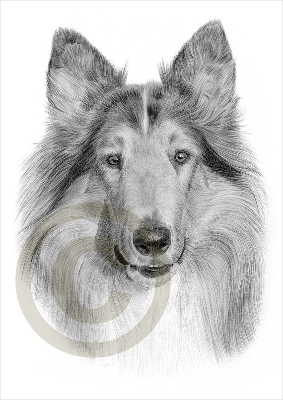 Rough Collie Pencil Drawing Print Artwork Signed By Artist
