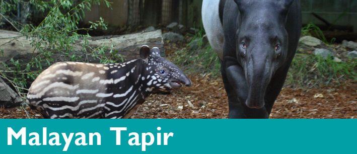 Malayan Tapir Woodland Park Zoo Seattle Wa Woodland Park Zoo Tapir Zoo