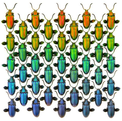 Frog Leg Beetles Color Variation In The Wild Christopher Marley Beautiful Bugs Insect Art