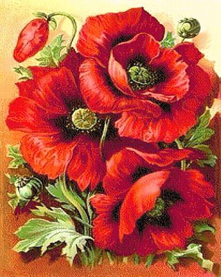 Parkman's Oriental Poppy, Papaver Parkmani | Vintage seed ...