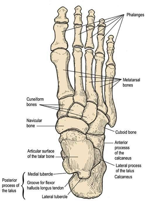 Foot Anatomy Plantar View Anatomy Physiology Pinterest Foot