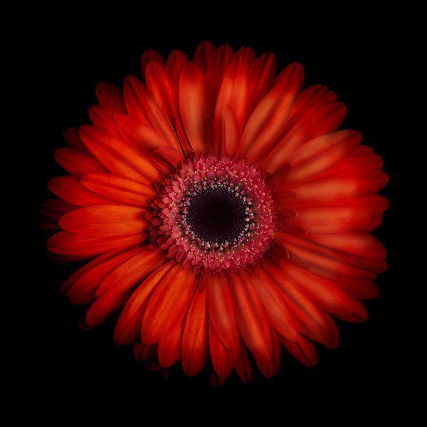 Orange Gerber Daisy With Images Flowers Gerbera Daisy