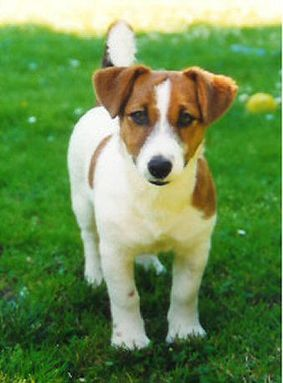 What S The Difference Between A Rat Terrier And A Jack Russell