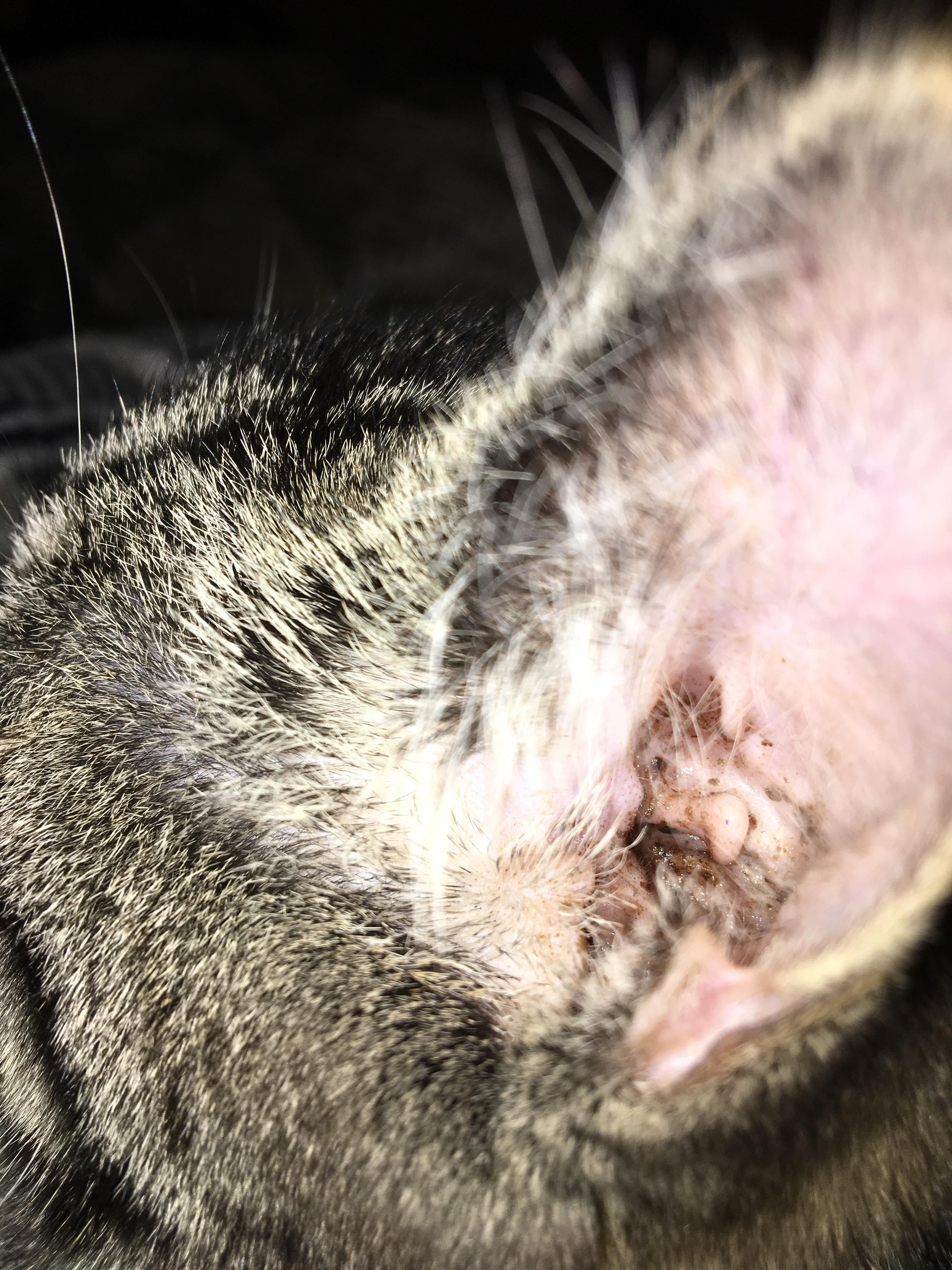 Does My Cat Have Mites Or Just A Lot Of Ear Wax Cat Makeup Halloween Cat Makeup Cat Tattoo