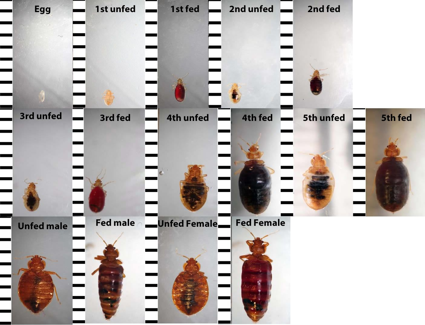Bed Bug Identification Chart Want To Know If You Have Seen A