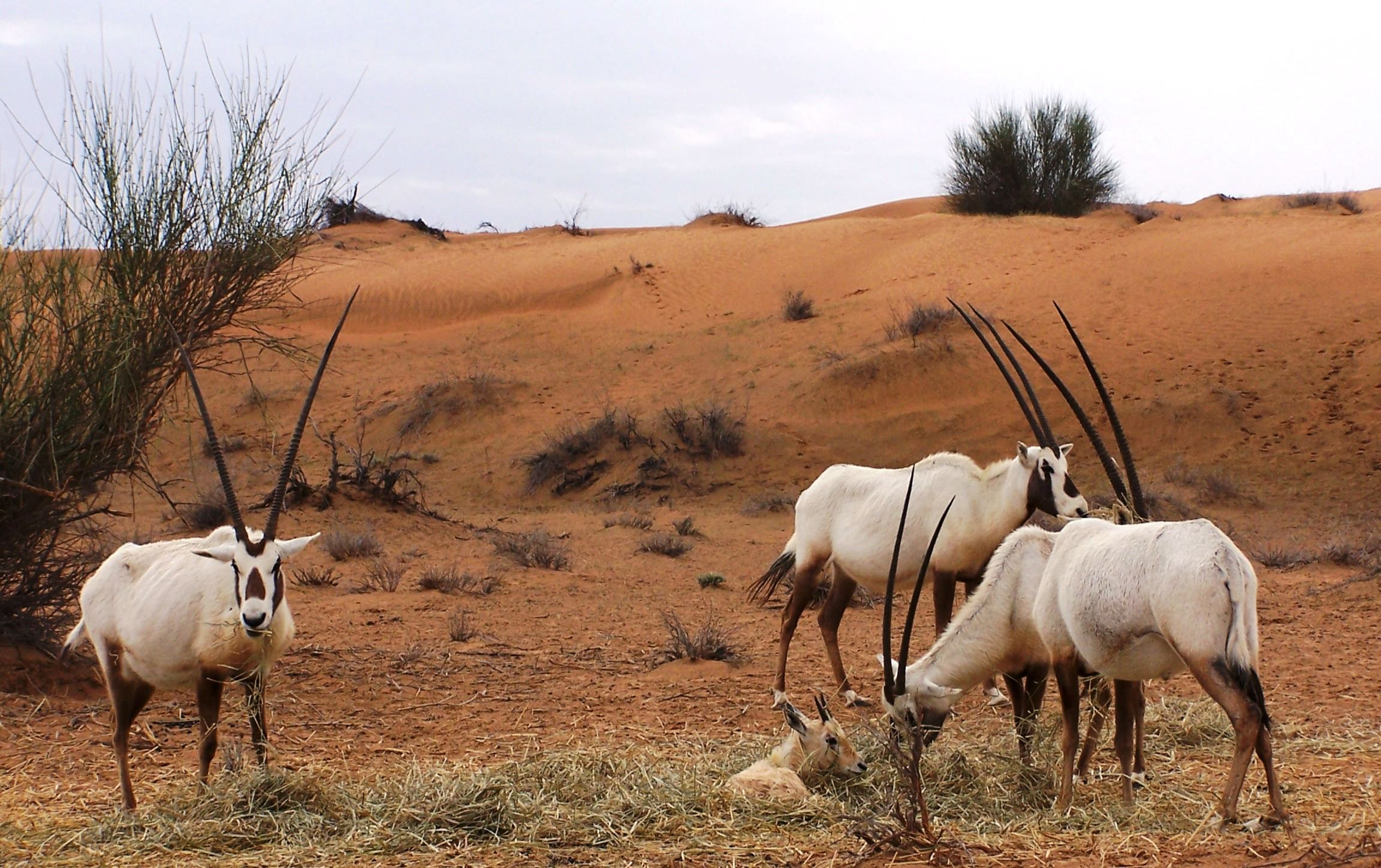 100+ [ Thar Desert Animals ] | Camel Safari In Thar Desert ...