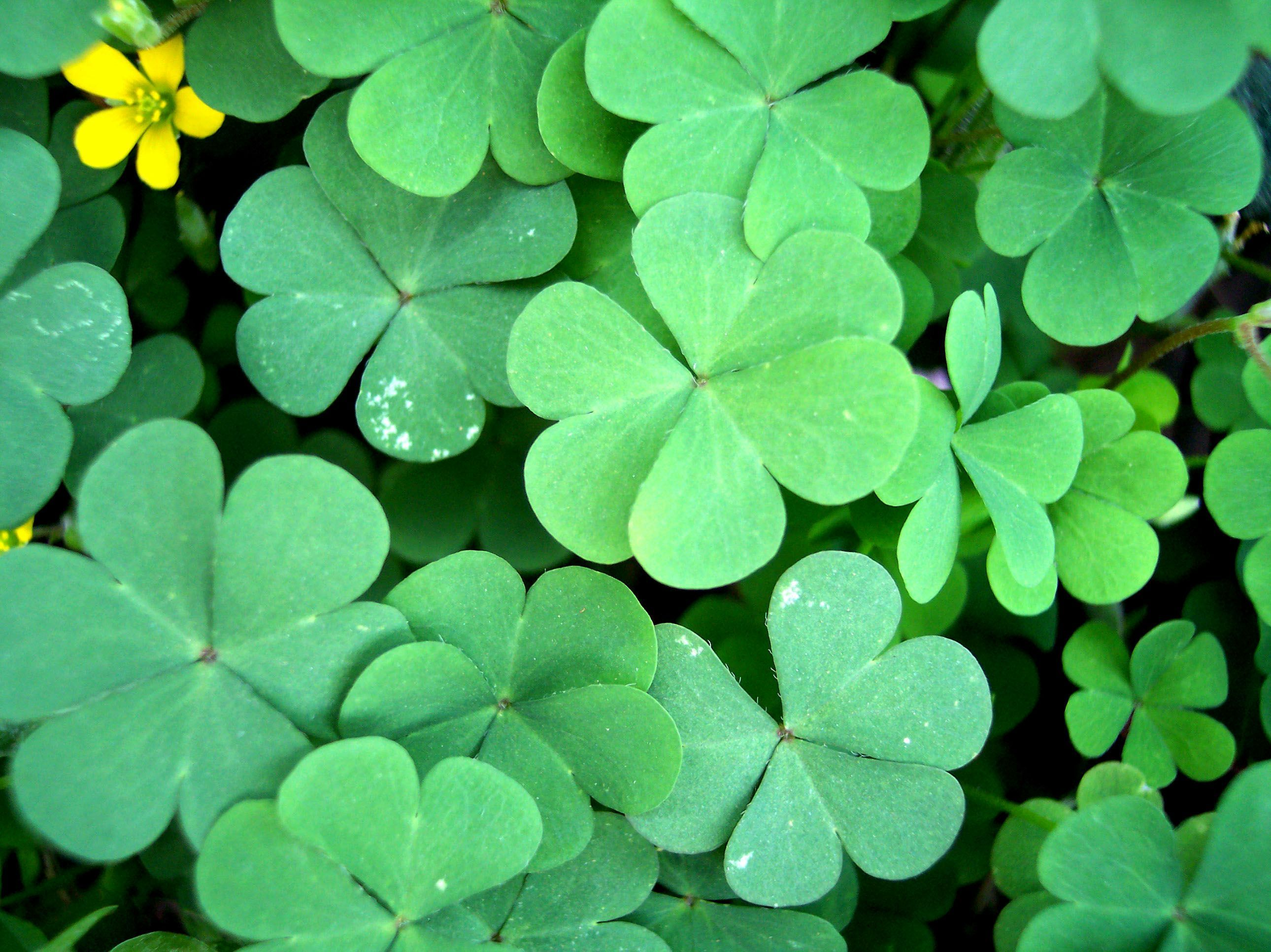 Four Leaf Clover Wallpapers Wallpaper Cave St Patrick
