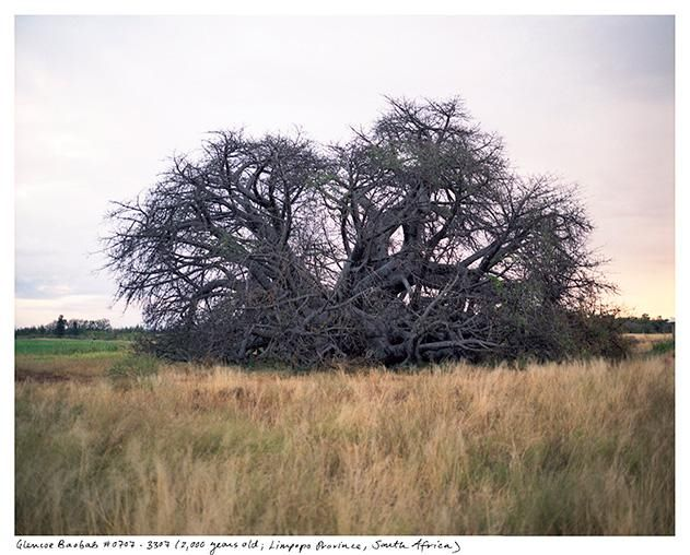 The Glencoe Baobab Located In Limpopo Province South Africa Is