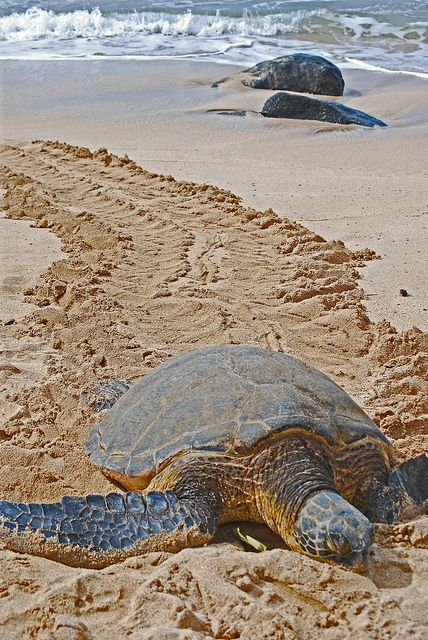 Turtle Beach On The North S Of Oahu