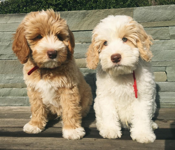 10 Hypoallergenic Dog Breeds You Can Love Without Sneezing Get Leashed Magazine