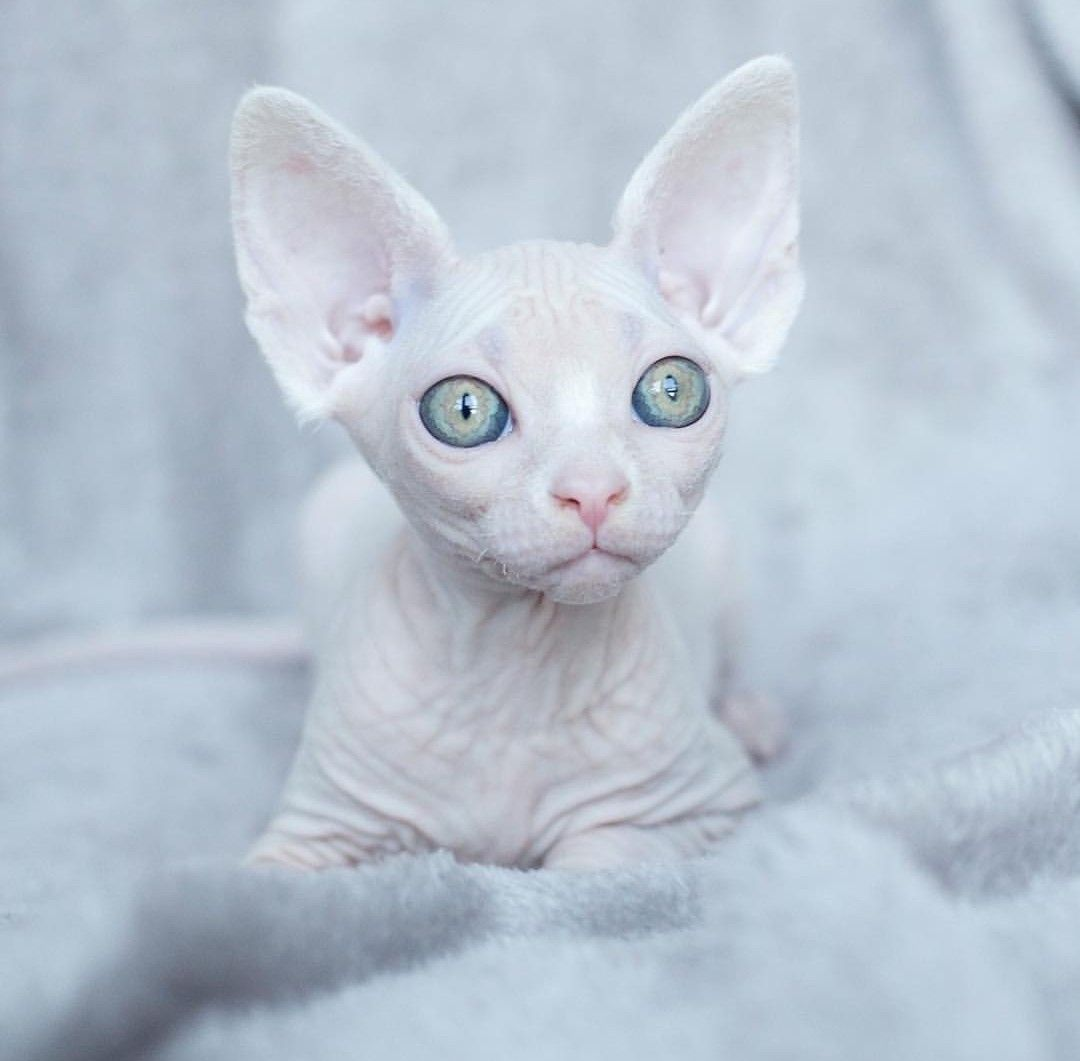White Sphynx Kitty Sphynx Sphynxcat Cute Animals Cats Beautiful Cats