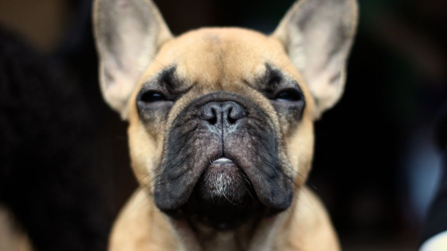 Wallpaper Mania On Pinterest French Bulldog Pictures