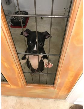 Boston Terrier Labrador Retriever Mix Puppy For Sale In Saint
