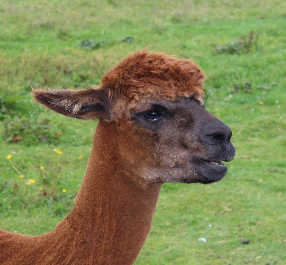We caught Mungo singing this morning 🎶🎶🎶 Alpaca
