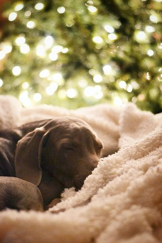 Weimaraner: looks like my baby Paislee :)