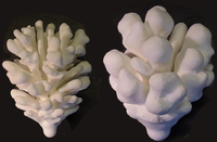 A problem solving environment for modelling stony coral morphogenesis