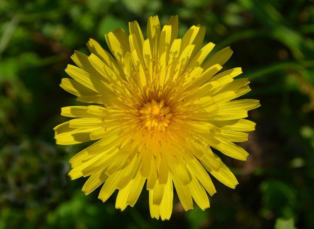 Dandelions Are Beautiful Dandelion Flowers Dandelion Flower