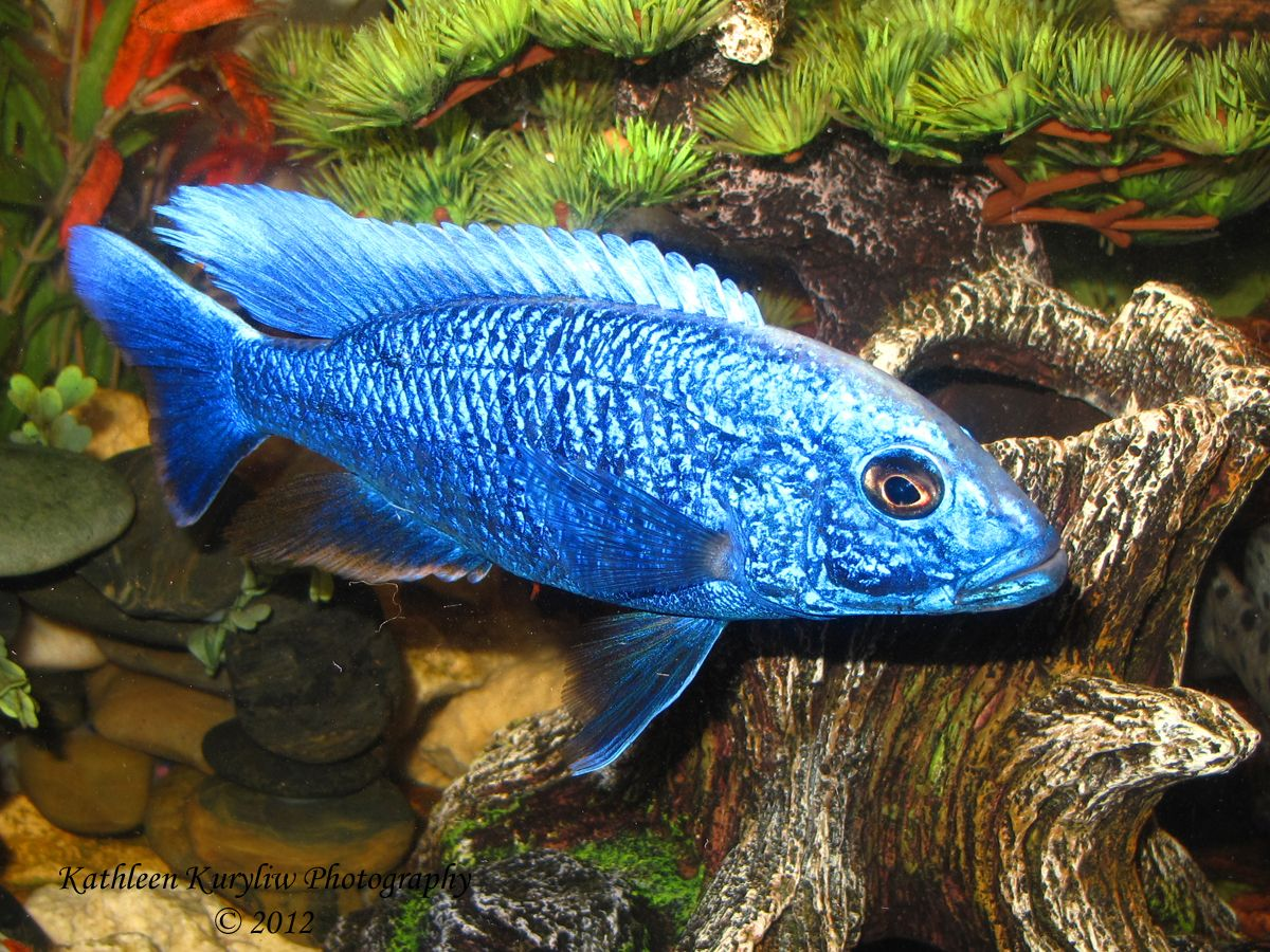 electric blue african cichlid - photo #7