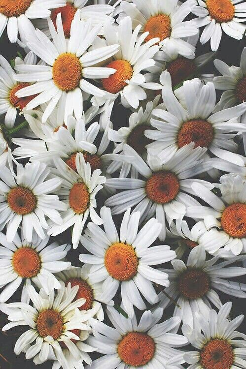 Margaridas DaisiesDaisy FlowersSun FlowersBlack FlowersVintage Flowers Wallpaper IdeasDaisy WallpaperBest Phone WallpaperSunflower Iphone