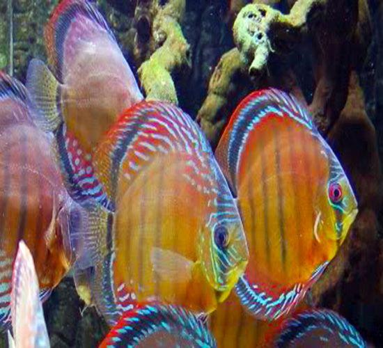 Brown Discus Adults Waouuu Www Facebook Com Graine De Marin Marine Fish Tanks Discus Fish Aquarium Fish