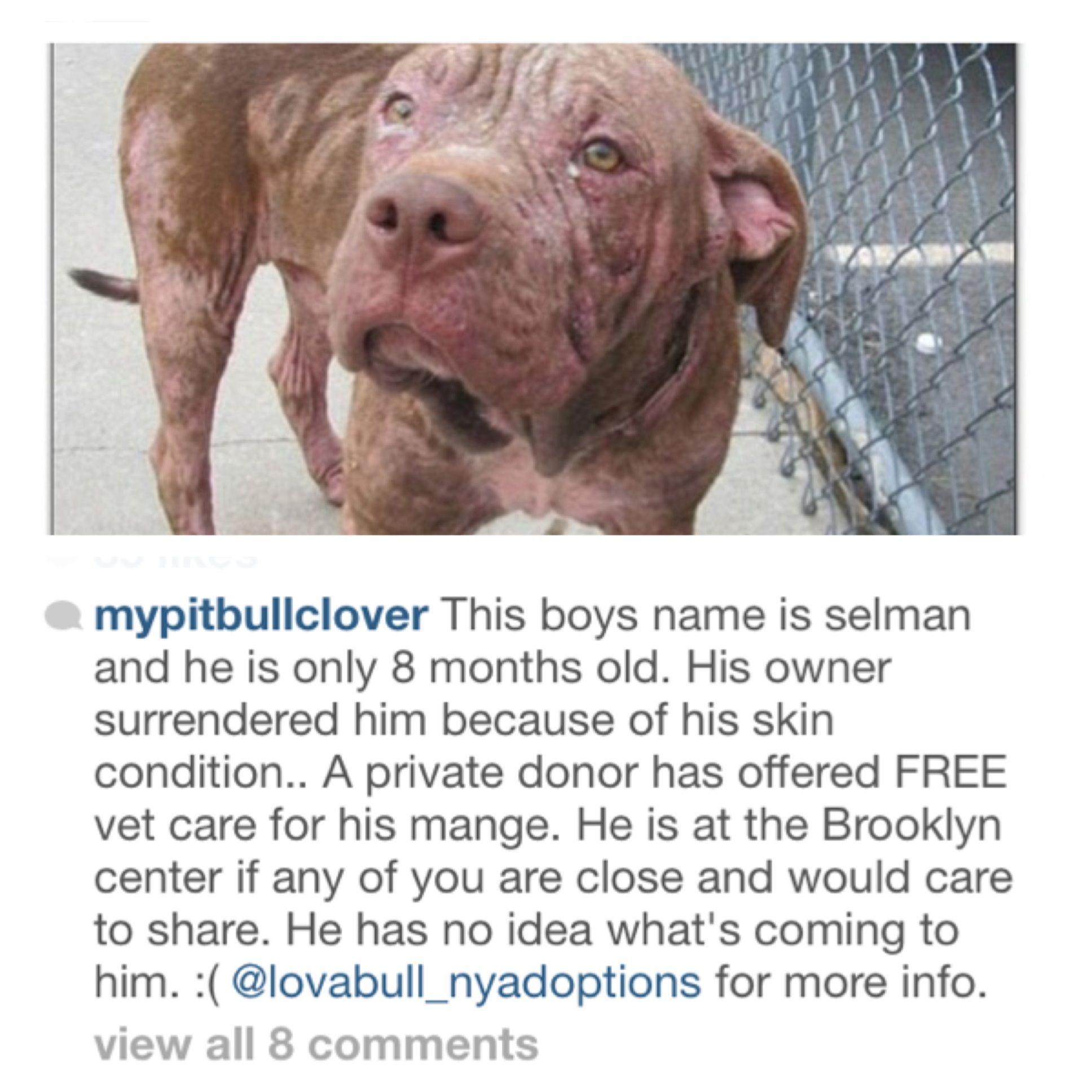 #Urgent #Rescue #Brooklyn #Newyork #Adoptdontshop #Mange #Pitbull #Dog