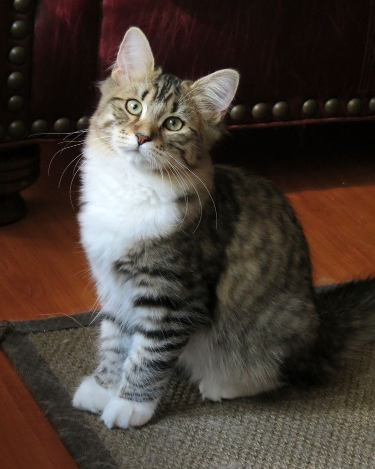 Our Pretty 4 Month Old Girl Ula Mystic Melody Siberian Cats Cats And Kittens Cute Cats And Kittens Kittens