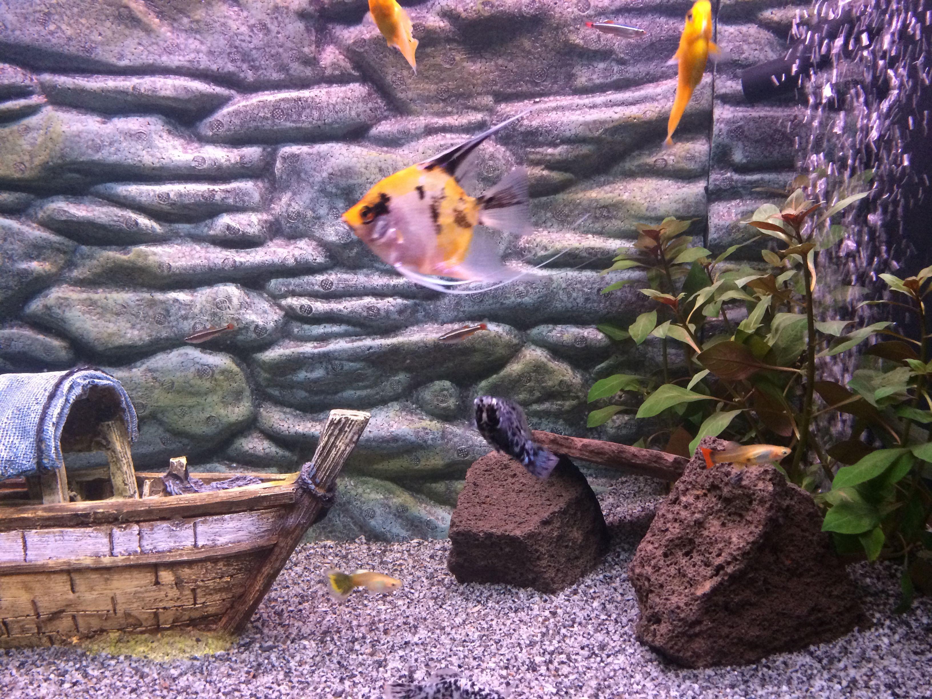 Koi maanvissen in tropisch zoetwateraquarium aquarium for Koi aquarium