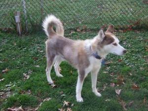 Adopt Connor On Siberian Husky Dog Husky Dogs